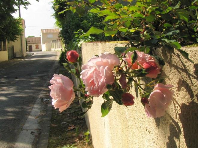 roses France